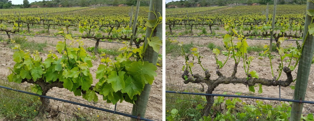 before and after green pruning