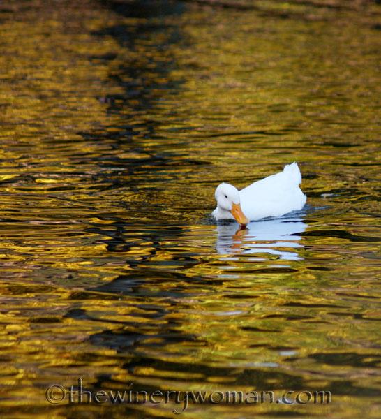 Duck_1352
