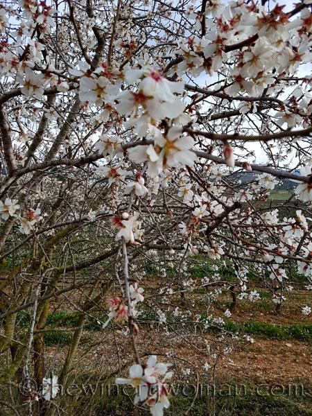 Almond_trees2_TWW