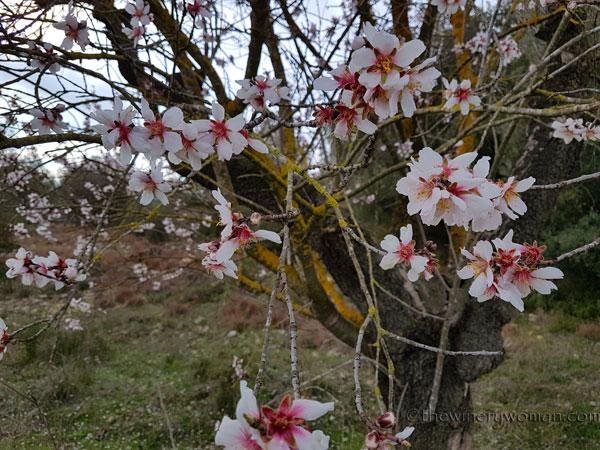 Almond_trees3_TWW