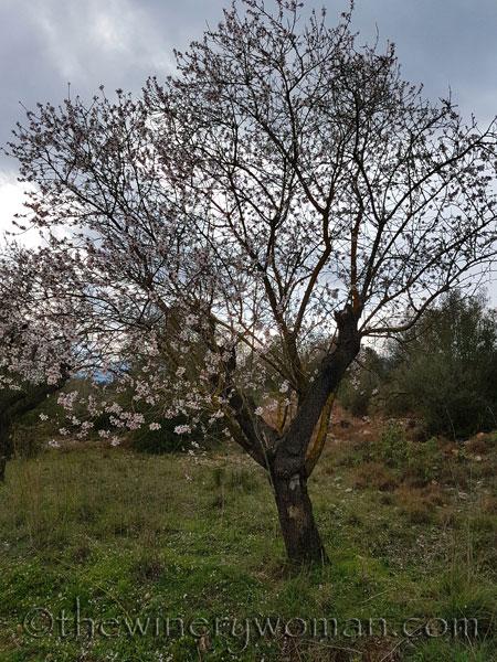 Almond_trees4_TWW