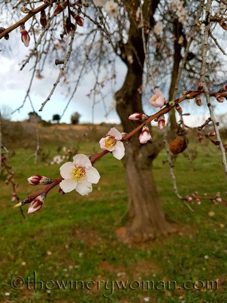 Almond_trees5_TWW