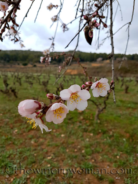 Almond_trees6_TWW