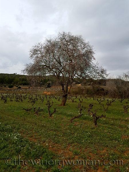 Almond_trees7_TWW