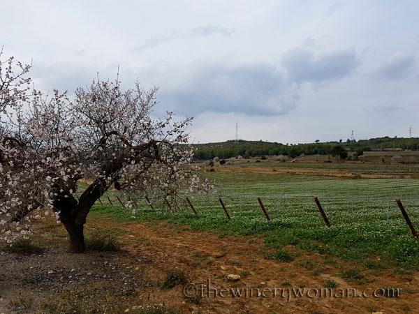 Almond_trees8_TWW