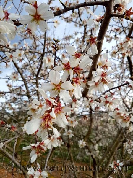 Almond_trees_TWW