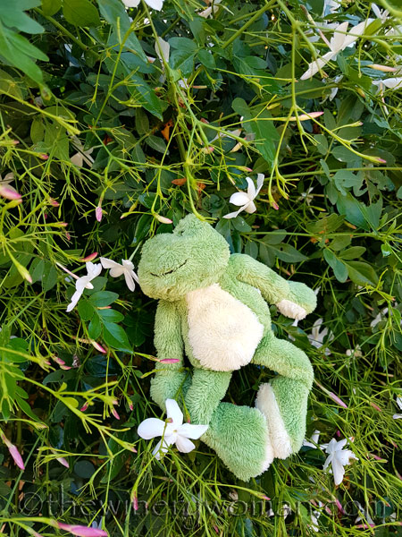 Friday-Frog-smelling-Jasmine-in-Spain_TWW