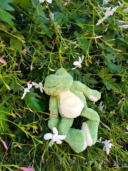 Friday-Frog-smelling-Jasmine-in-Spain_TWW