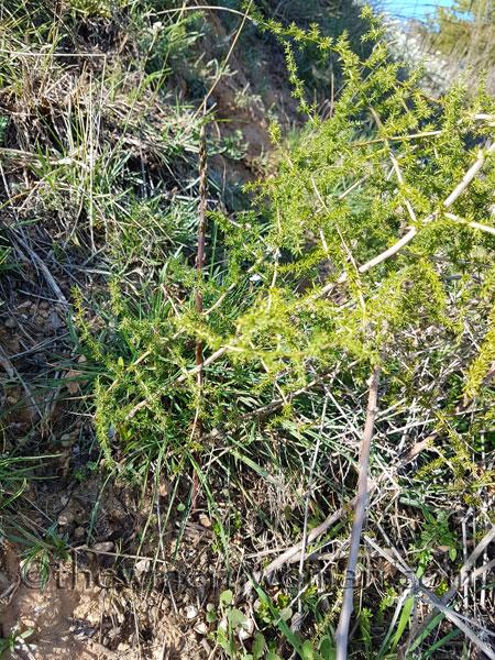 Asparagus7_3.10.18_TWW
