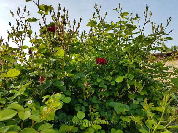 Garden-flowers14_4.26.18_TWW