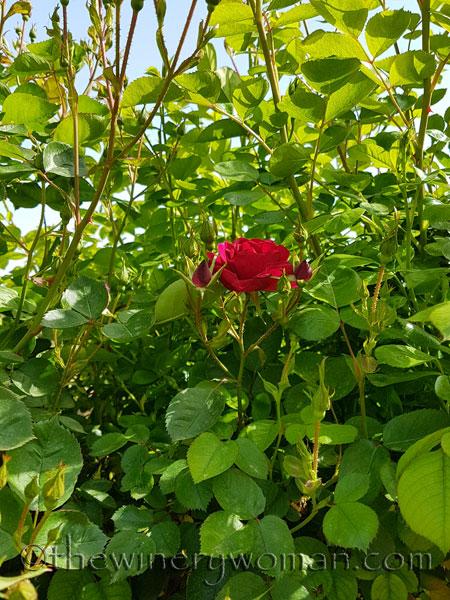 Garden-flowers7_4.26.18_TWW