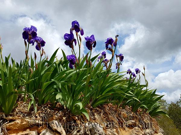 Irises13_4.10.18_TWW