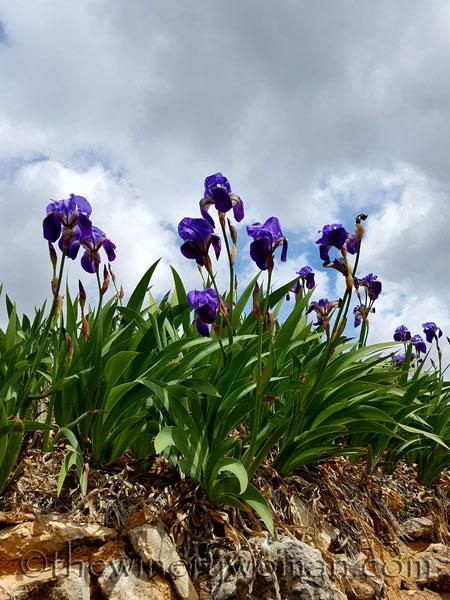 Irises14_4.10.18_TWW