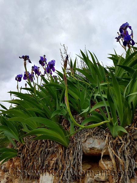 Irises19_4.10.18_TWW