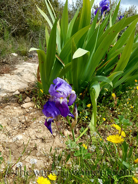 Irises25_4.10.18_TWW