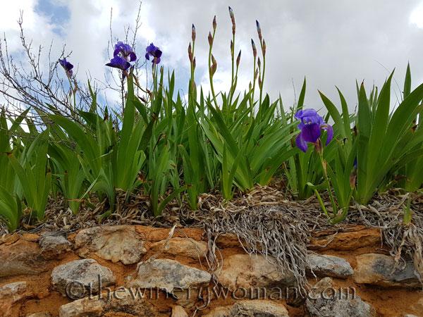 Irises9_4.10.18_TWW