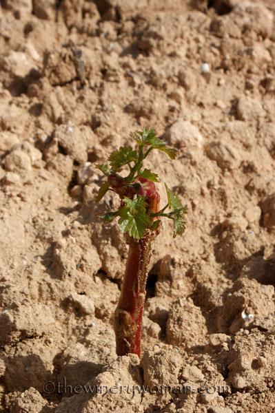 Malvasia-vines10_4.24.18_TWW