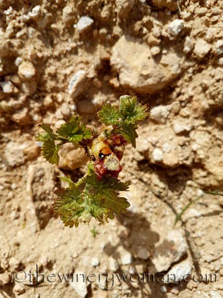Malvasia-vines4_4.24.18_TWW