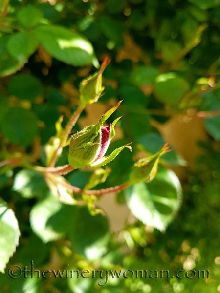 Roses2_4.18.18_TWW