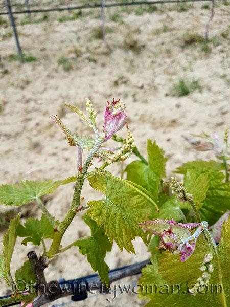 Vines-awakening_4.10.18_TWW