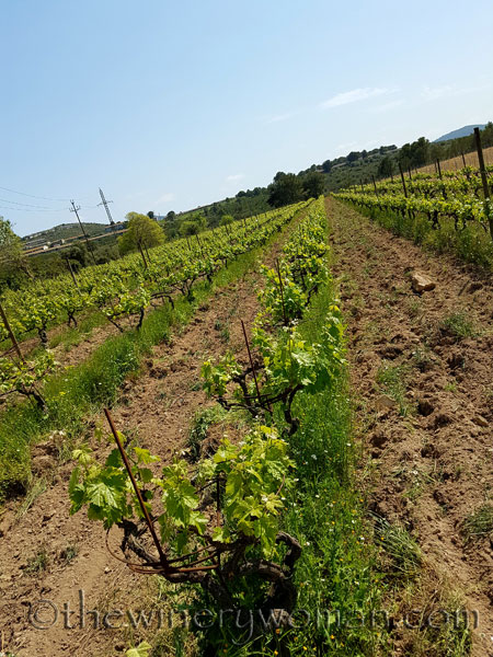 Vineyard-lines6_4.27.18-TWW