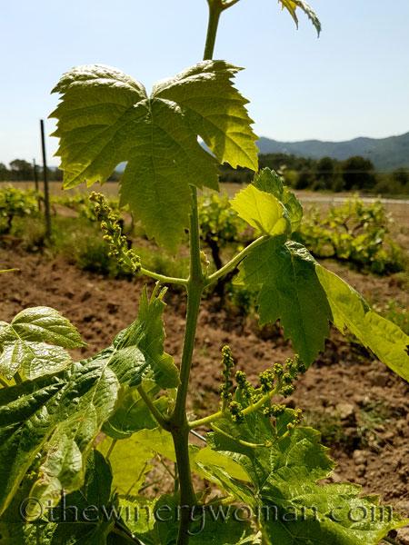 Vineyard-lines7_4.27.18-TWW