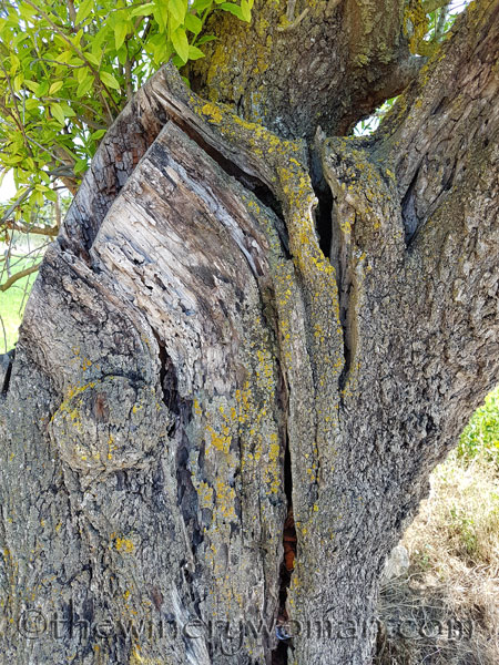 Vineyard-lines9_4.27.18-TWW