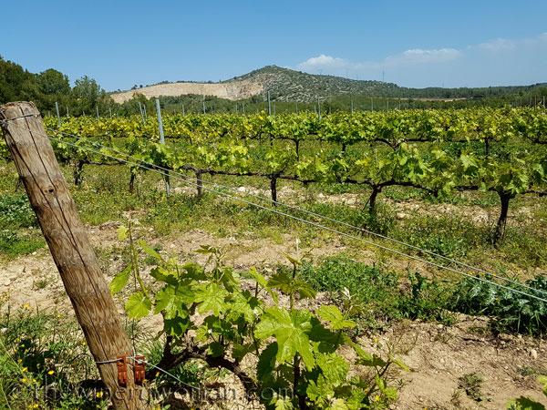Vineyard11_4.21.18_TWW