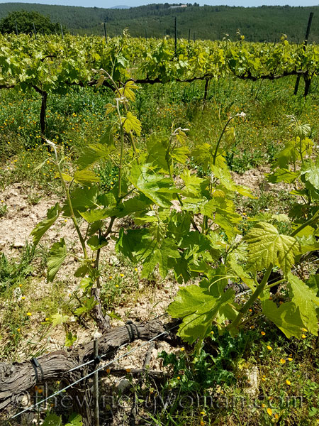 Vineyard12_4.21.18_TWW