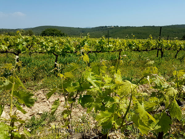 Vineyard13_4.21.18_TWW
