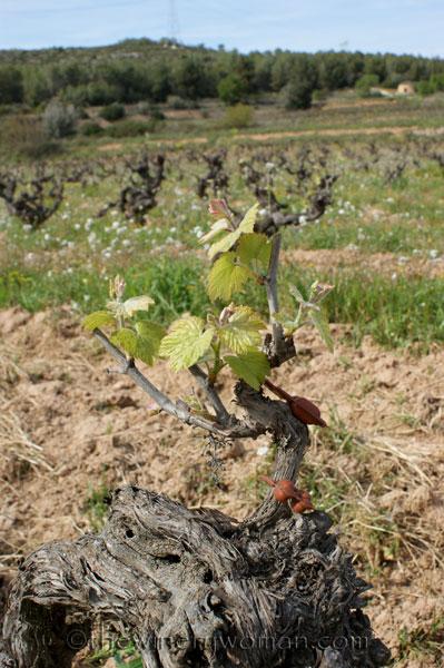 Vineyard14_4.5.18_TWW