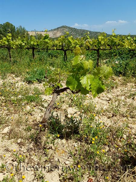 Vineyard15_4.21.18_TWW