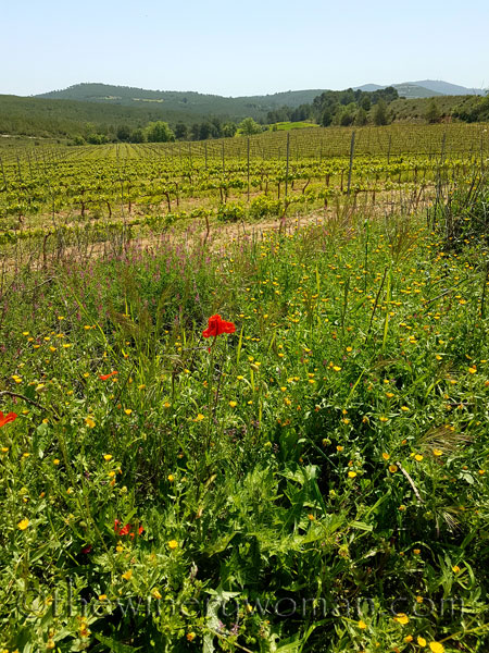 Vineyard19_4.21.18_TWW