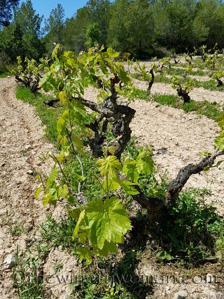 Vineyard20_4.21.18_TWW