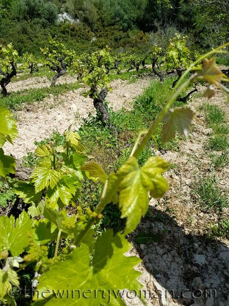 Vineyard21_4.21.18_TWW