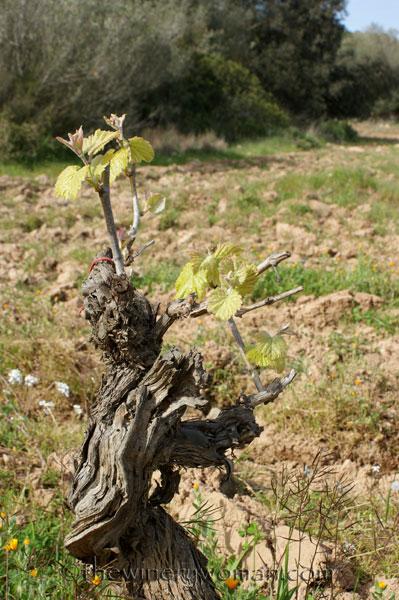 Vineyard23_4.5.18_TWW
