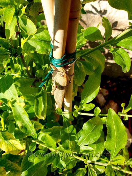 Grasshopper2_5.31.18_TWW