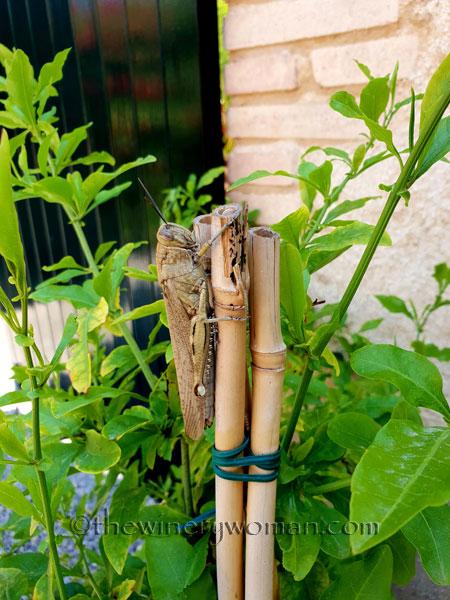 Grasshopper4_5.31.18_TWW