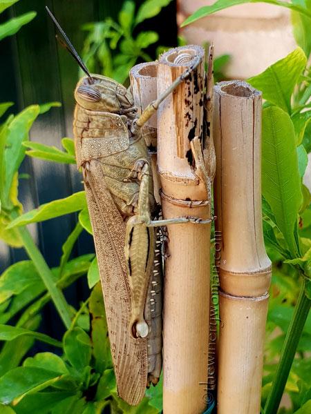 Grasshopper5_5.31.18_TWW