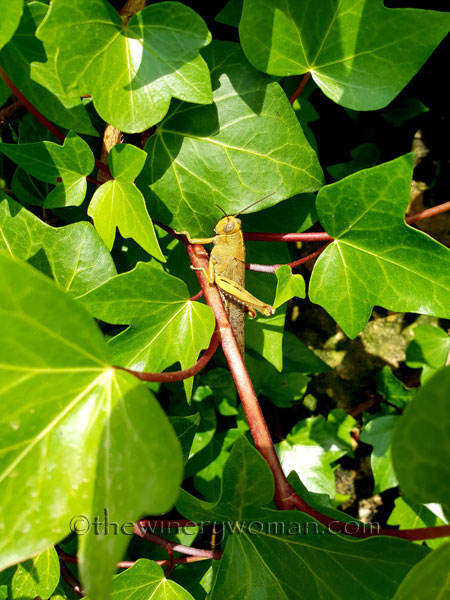 Grasshopper_5.28.18_TWW