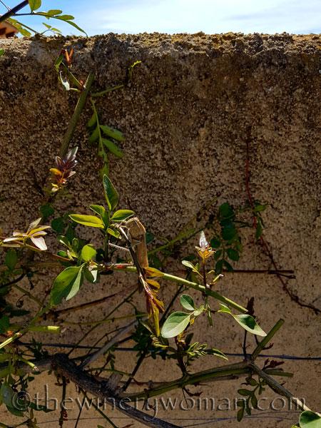 Grasshopper_on_Jasmine3_5.15.18_TWW