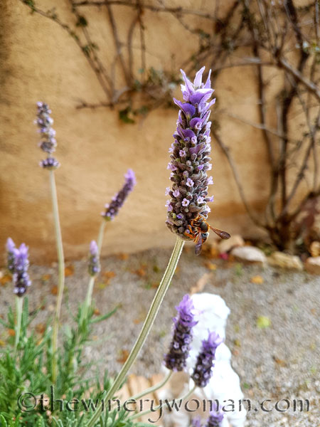 Lavender2_4.29.18_TWW