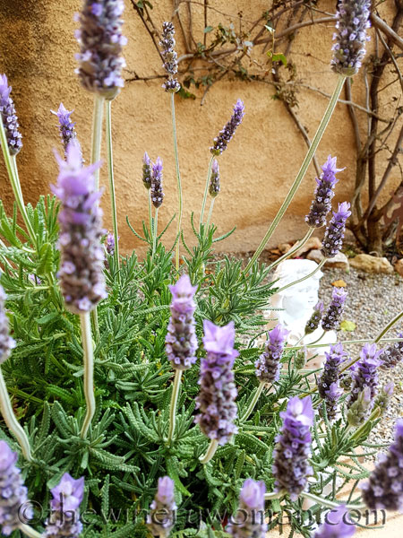 Lavender6_4.29.18_TWW