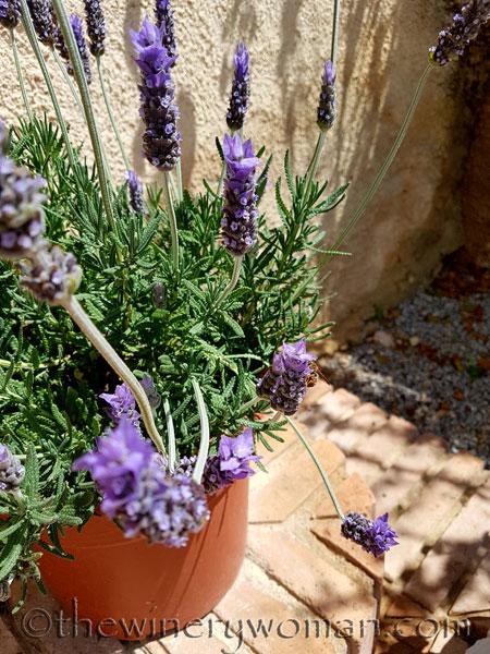 Lavender7_4.29.18_TWW