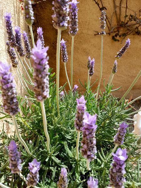 Lavender9_4.29.18_TWW