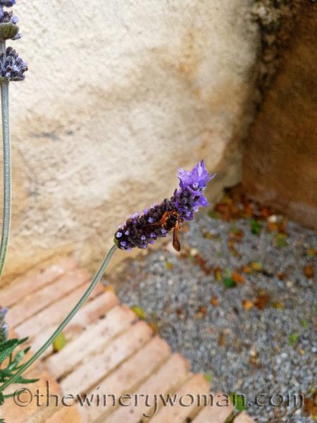 Lavender_4.29.18_TWW
