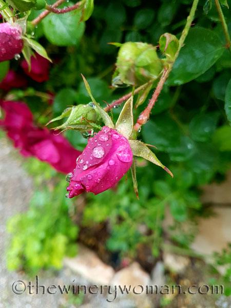 Raindrops_on_Roses10_5.9.18_TWW