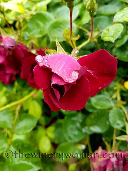 Raindrops_on_Roses11_5.9.18_TWW