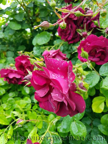 Raindrops_on_Roses2_5.9.18_TWW