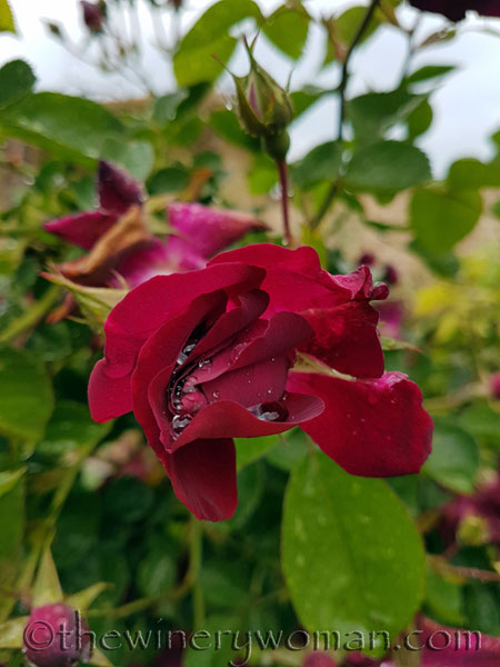 Raindrops_on_Roses3_5.9.18_TWW